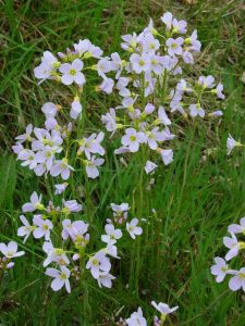 Cuckooflower, important for orange tip butterflies in spring