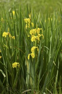 Yellow flag, our native iris