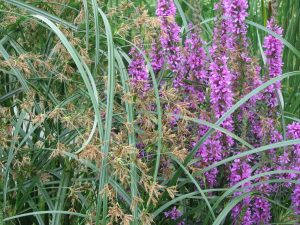 Sweet galingale & purple loosestrife